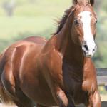 cavalo_quarto_milha